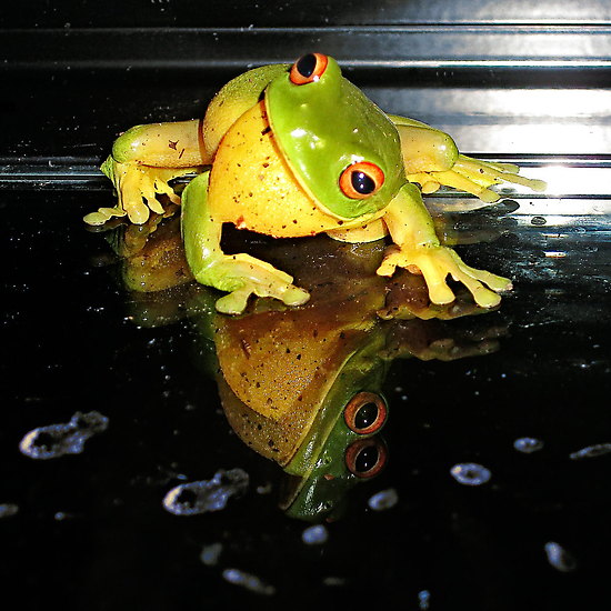 Smiley Boy... (Litoria Chloris) by Neil Ross