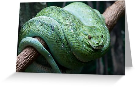 Morelia viridis by Jason Asher
