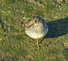 Purple Sandpiper by VoluntaryRanger