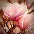 Magnolia 11 by imagesbyjillian