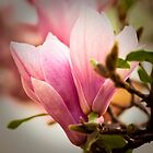Magnolia 12 by imagesbyjillian