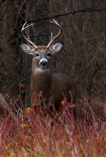 Young Buck - portrait - White-tailed Deer by Jim Cumming