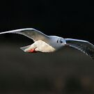 Another Little Gull, ( Hydrocoloeus minutus or Larus minutus)  by Hovis