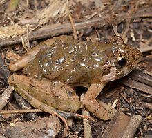 Rough guardian frog - Limnonectes finchi by Andrew Trevor-Jones