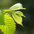 Elm Leaves by waxyfrog