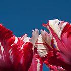 Tulips Estella Reinfeld by Steve Purnell