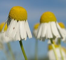 Early Morning Mayweed by Barrie Woodward