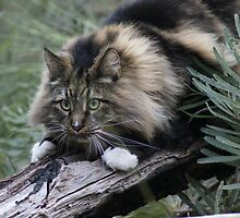 JB - Maine Coon - In the Wild by DeliaA