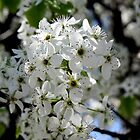 Bradford Pear Blossoms by CatKV