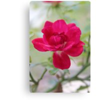 Knockout Rose Canvas Print