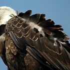 Alaskan Bald Eagle by Nick Boren