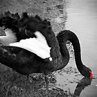 Black Swan, Perth, Western Australia by Kristi Robertson