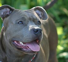 Blue pitbull by ritmoboxers