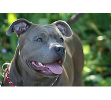 Blue pitbull Photographic Print