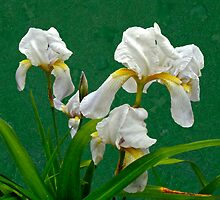 White Bearded Irises by MotherNature