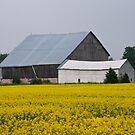 Yellow Field and Barn, Grey County by Skye Hohmann