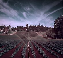 Watering Potatoes by Photo-Bob