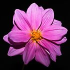 Purple Dahlia by Steve Purnell