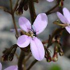 Trigger plant Stylidium laricifolium by Daphne Gonzalvez