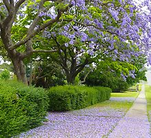 Jacaranda  by Sharon Brown
