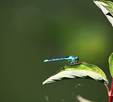 Damselfly...Eating a Fly by Alyce Taylor