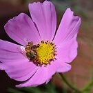 Honey bee on a cosmos flower by Paula Betz