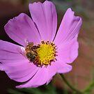 Honey bee on a cosmos flower by Paula Betz