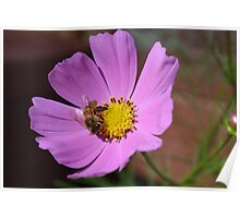 Honey bee on a cosmos flower Poster