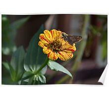 Moth on a Peppermint Zinnia Poster