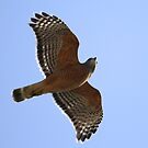 A Red Shouldered Hawk Shows Its Wings by DARRIN ALDRIDGE