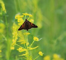Silver-spotted Skipper on Leafy Spurge by Alyce Taylor