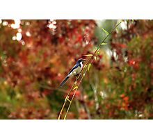 Blue Bird Enjoying Fall Color Photographic Print