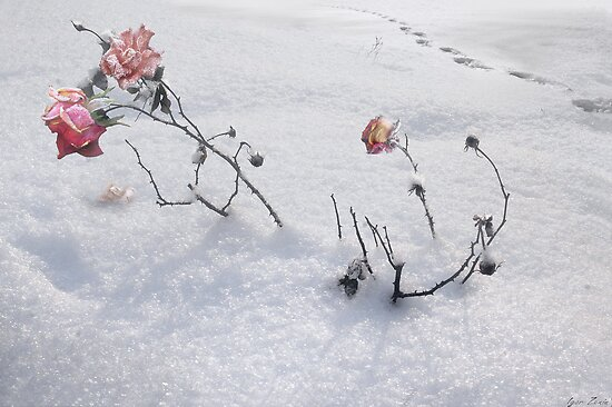 Snow Rose by Igor Zenin