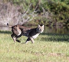 Bobcat by Larry Baker