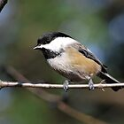 Black-Capped Chickadee by deb cole