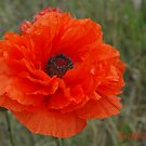 Poppy Delight by Holly Werner