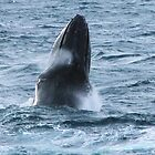 Head Lunging Humpback. by Wilparina
