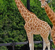 Giraffe Encounter. by Julie  White