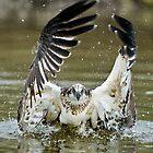 Osprey  389 by John Van-Den-Broeke