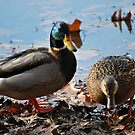 Mallard Pair by deb cole