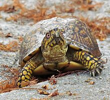 Eastern Box Turtle by Cynthia48