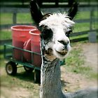 Hi Llama, Ho Llama by Jessica Michele