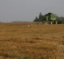 Stork in cornfield by fotorobs