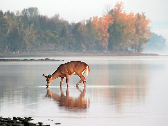 Deer Drinking - Ottawa River, Dunrobin Ontario by Debbie Pinard