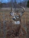 Splendor in the Grass - White-tailed Deer by Jim Cumming