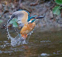 Kingfisher  by wildlifephoto