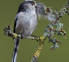 Long-tailed tit with feather by wildlifephoto