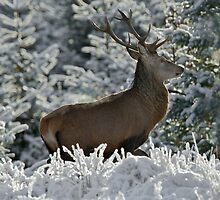 Red Deer stag in winter by wildlifephoto