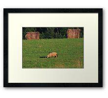 Sheep Framed Print