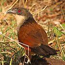 Burchells coucal(the rain bird) by jozi1